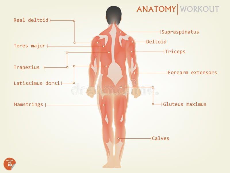 Hermoso diseño de lado trasero de la anatomía humana con la descripción libre illustration