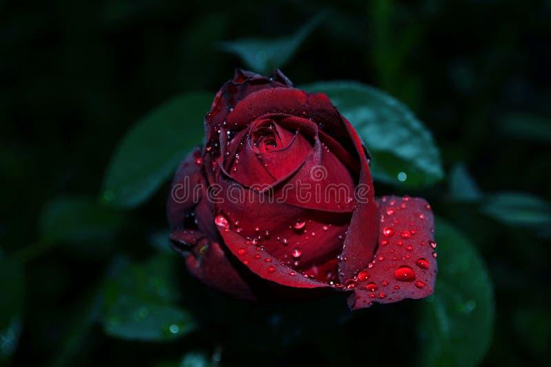 Hermoso escoja color de rosa con descensos del agua imagen de archivo