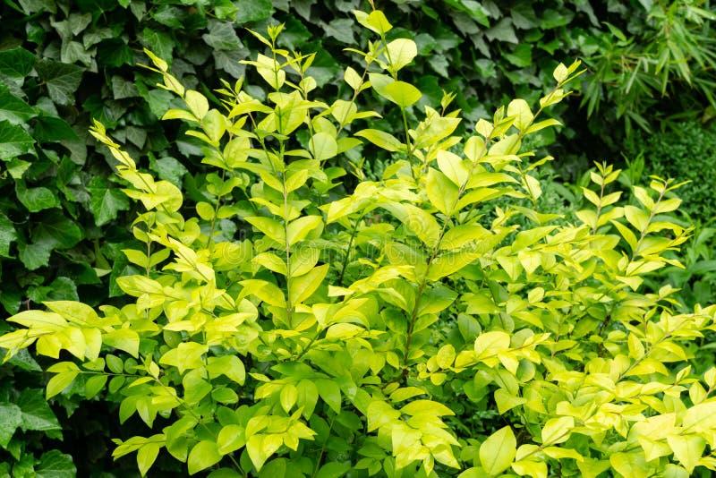 Hermoso follaje amarillo en el arbusto de Ligustrum Vicaryi con plantas verdes en un jardín ornamental imágenes de archivo libres de regalías