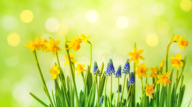Hermoso fondo primaveral con daffodil amarillo y flores muscari Composición de jardinería soleada imágenes de archivo libres de regalías