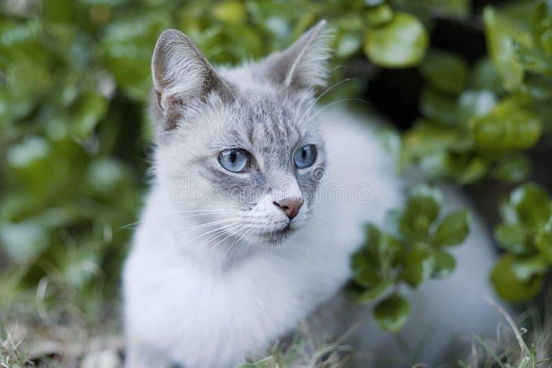 Hermoso gato persa o siamés con los ojos azules mirando y mirando foto de archivo libre de regalías