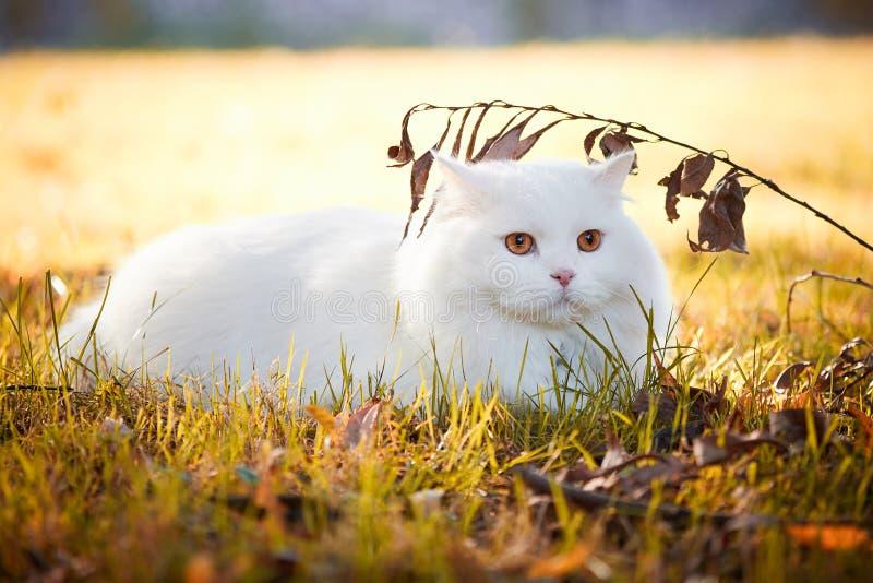 Hermoso gato turco Angora imagen de archivo libre de regalías