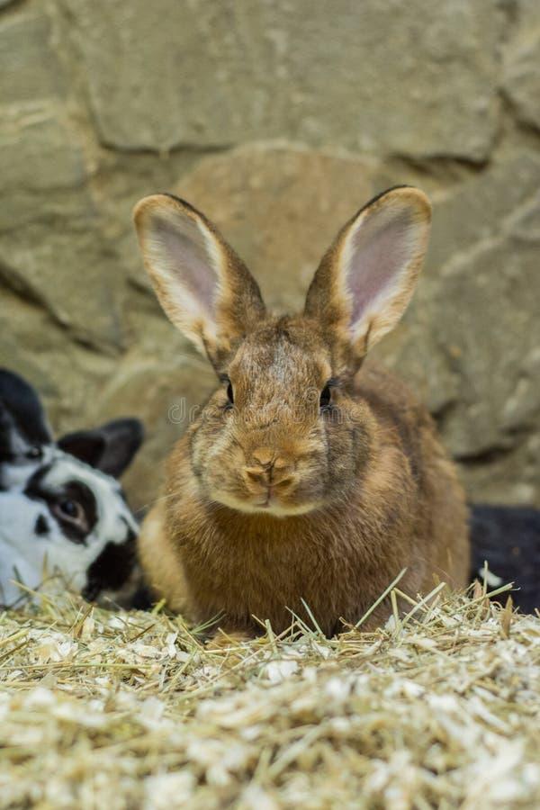 Hermoso, joven, marrón, poco conejo La cría de conejos nacionales fotografía de archivo