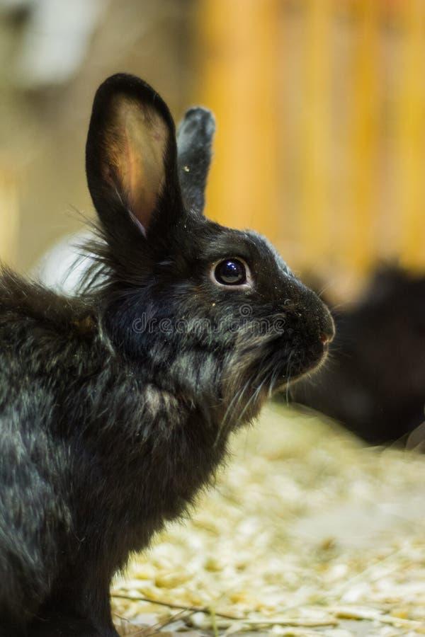 Hermoso, joven, negro, poco conejo La cría de conejos nacionales fotos de archivo libres de regalías