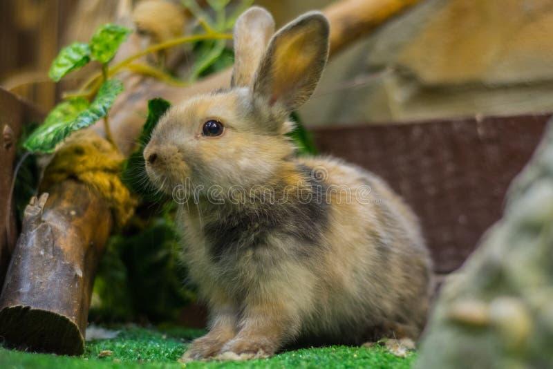 Hermoso, joven, tricolor, poco conejo La cría de conejos nacionales imagen de archivo libre de regalías
