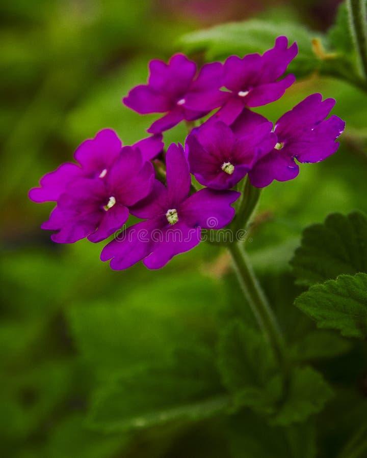 Hermoso miraba la imagen púrpura salvaje del primer de las flores foto de archivo