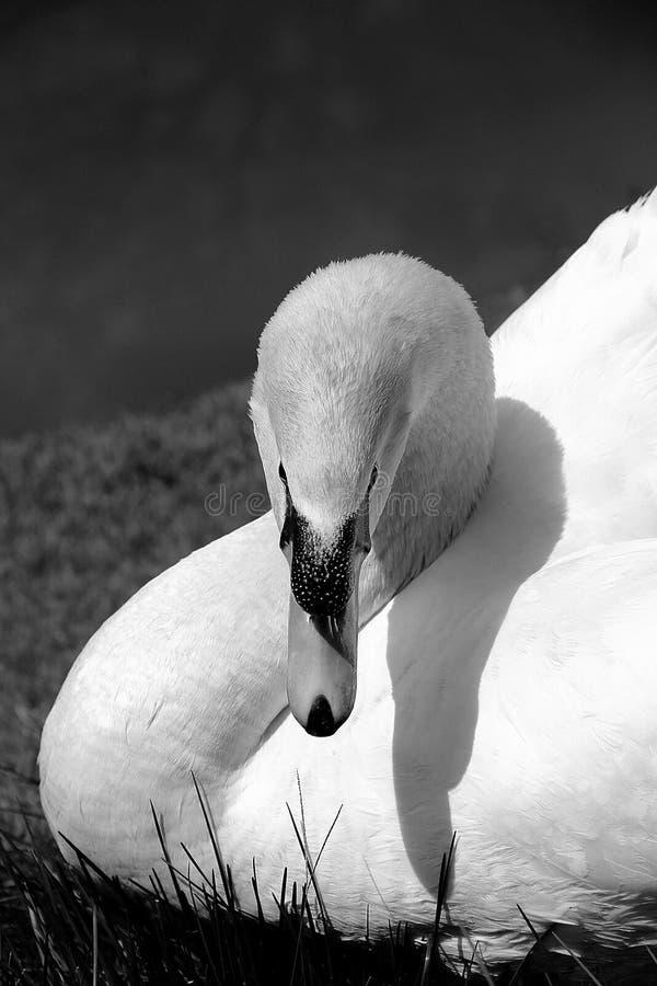 Hermoso nadó con su cabeza que señalaba el plumón en negro y blanco imagen de archivo