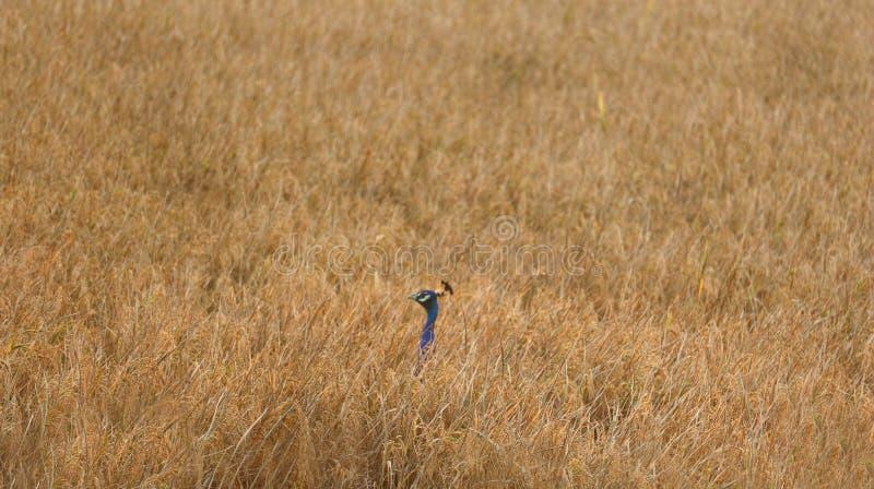 Hermoso pavo real ceilandés encontrado en un campo de arrozales a la hora dorada fuera de foco imagen de archivo