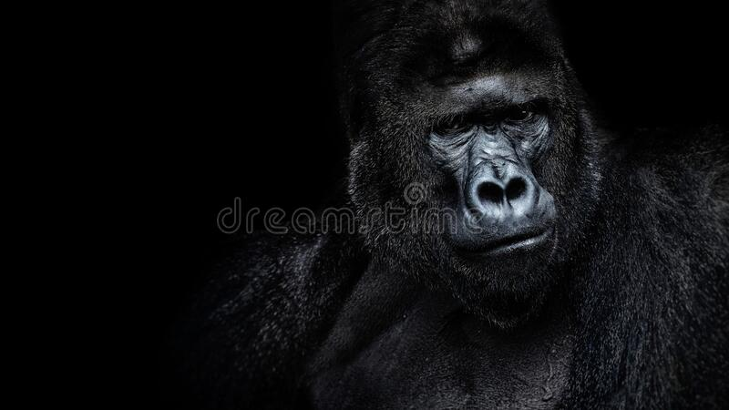 Hermoso retrato de un gorila Gorila macho sobre fondo negro, silverback severo, simio antropoide fotografía de archivo
