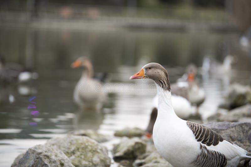 Hermoso un pato que descansa sobre el lago fotografía de archivo