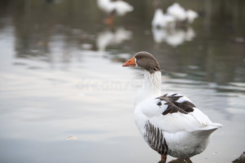 Hermoso un pato que descansa sobre el lago imágenes de archivo libres de regalías
