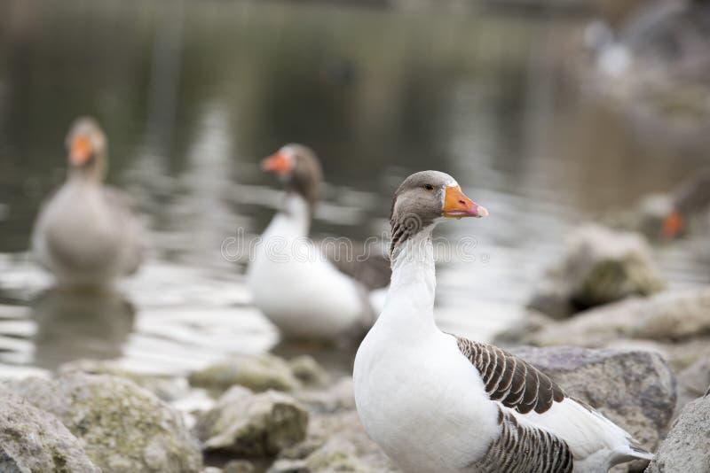 Hermoso un pato que descansa sobre el lago fotografía de archivo libre de regalías