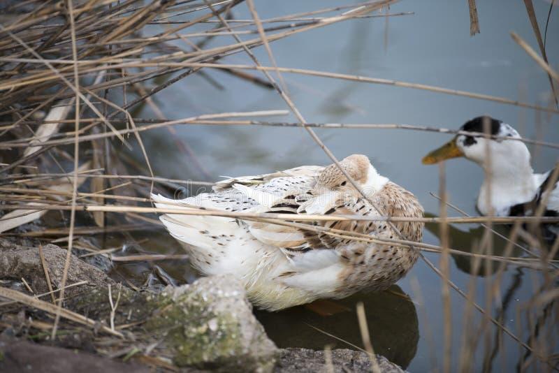 Hermoso un pato que descansa sobre el lago foto de archivo libre de regalías