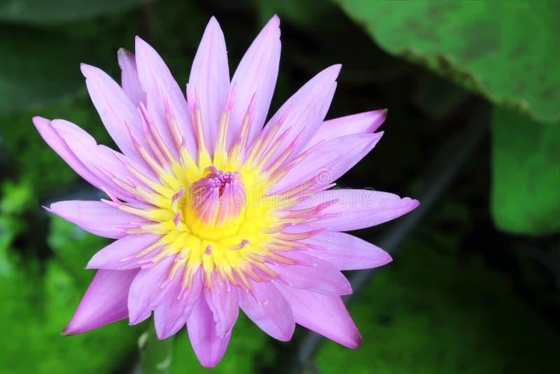 Hermoso waterlily o flor de loto fotos de archivo libres de regalías