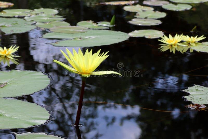 Hermoso waterlily o flor de loto en la charca foto de archivo libre de regalías