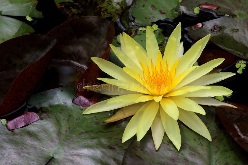 Hermoso waterlily o flor de loto en la charca imagen de archivo