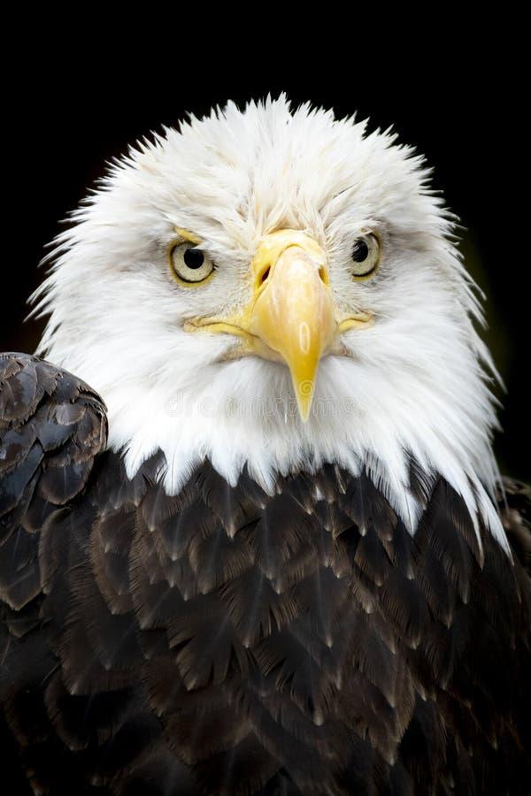 Hermoso y majestuoso retrato de un águila calva estadounidense foto de archivo