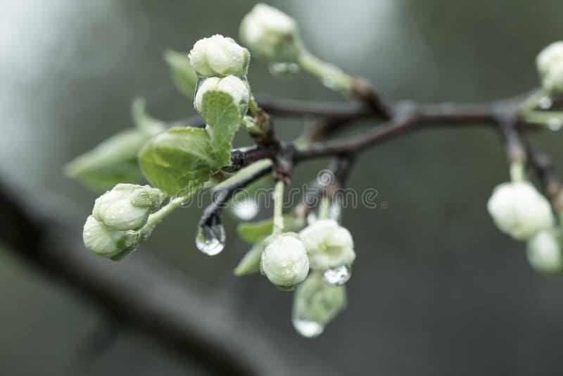 Hermosos capullos y flores de un ciruelo, Prunus domestica, con gotas transparentes de agua tras la lluvia Foto filtrada imagen de archivo libre de regalías