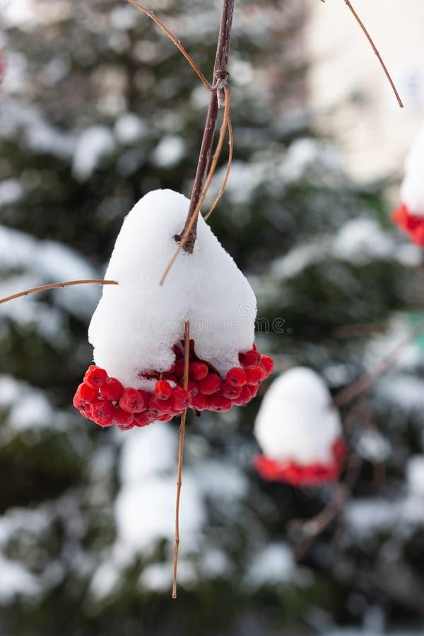 Hermosos racimos de ceniza roja recubiertos de nieve Fondo borroso fotos de archivo libres de regalías