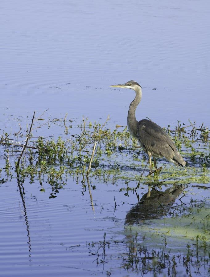 Download Heron stock photo. Image of wildlife, wild, watching - 10730622