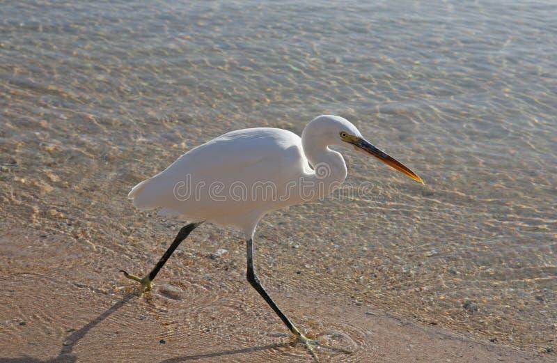 Download Heron stock image. Image of talon, feathers, heron, walking - 11970003