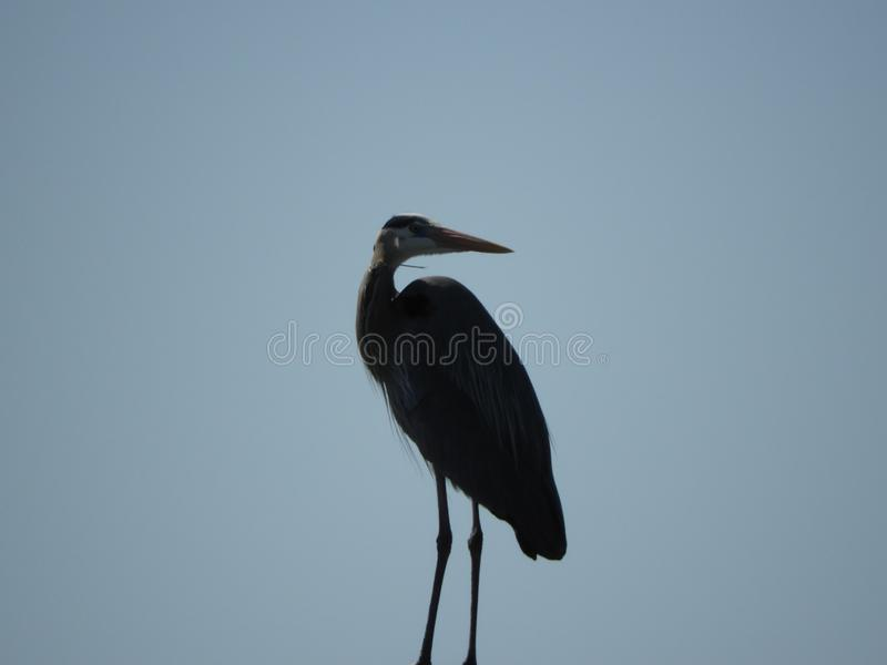 Silhouette of a Heron as his Sharp Eyes scan for both food an danger. Very few things will be missed by these eyes stock photos