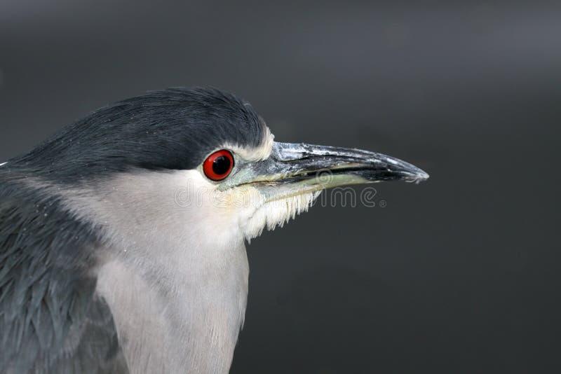 Download Heron stock image. Image of night, feathers, herons, nightheron - 16645023