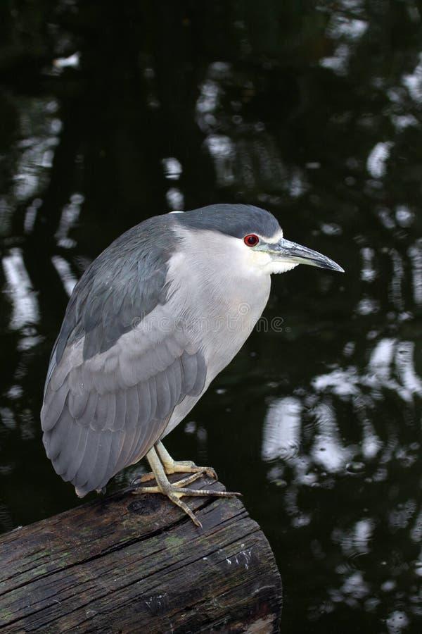 Heron Royalty Free Stock Images