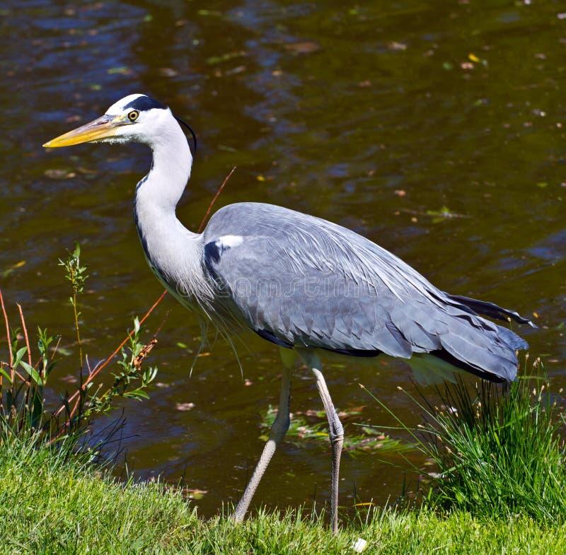 Download Heron stock image. Image of heron, calm, crest, legs - 19503011