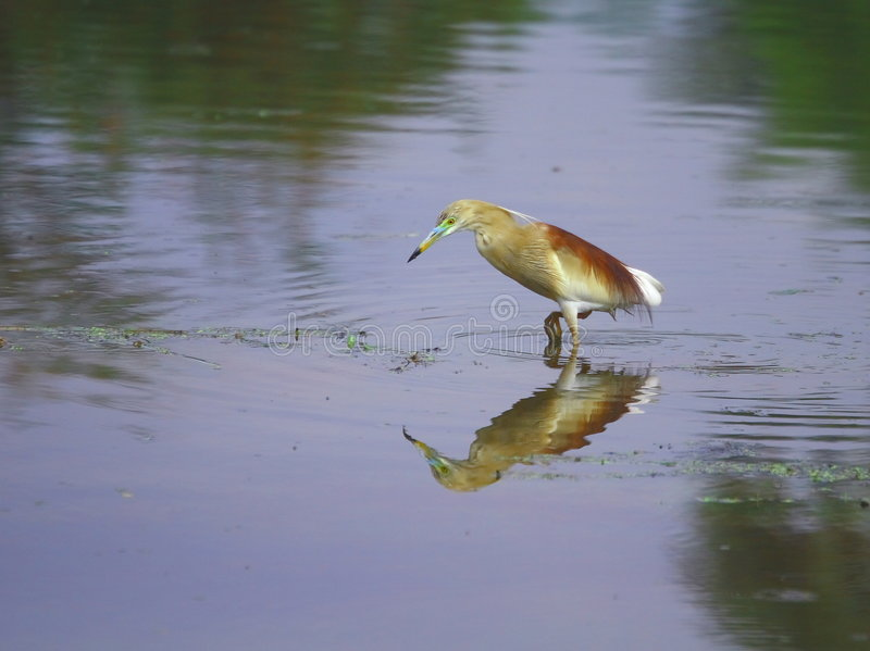 Download Heron stock image. Image of birds, beauty, green, catching - 3104423