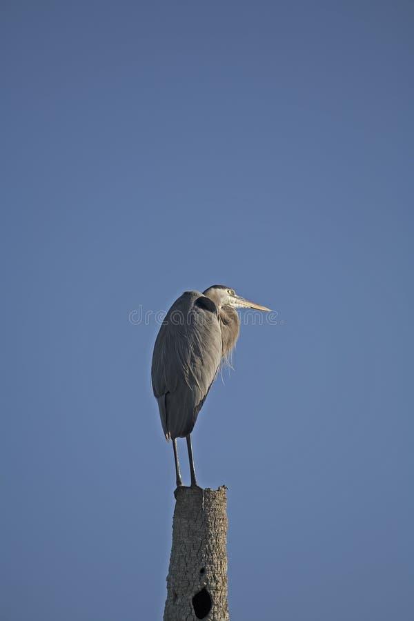 Free Heron Royalty Free Stock Image - 371506
