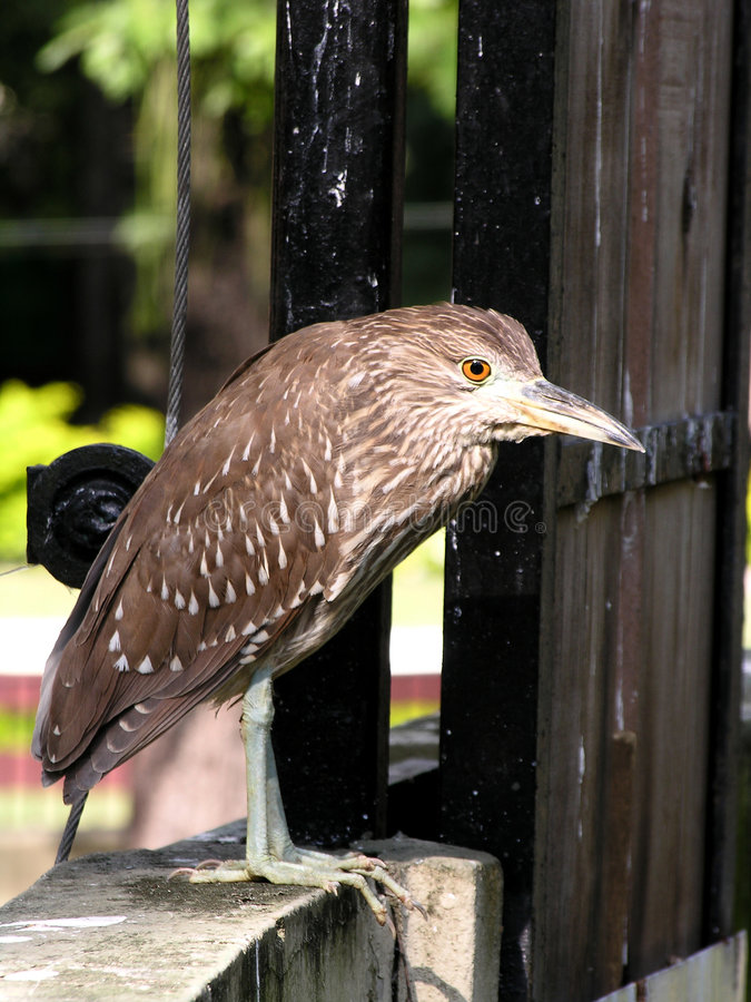 - heron fotografia stock