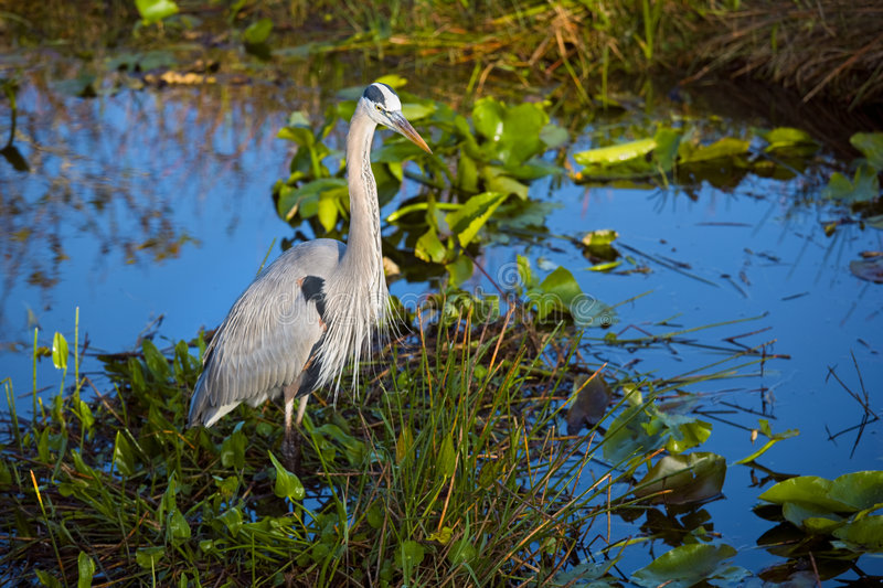 The Heron stock images