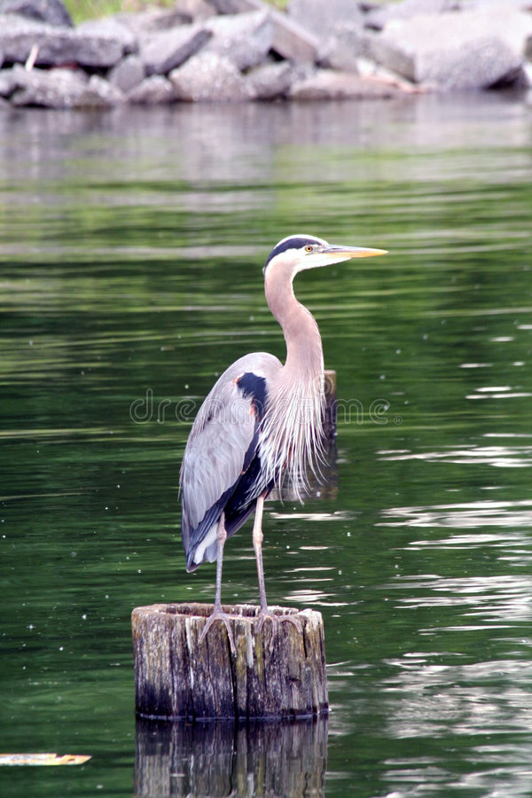 - heron fotografia royalty free