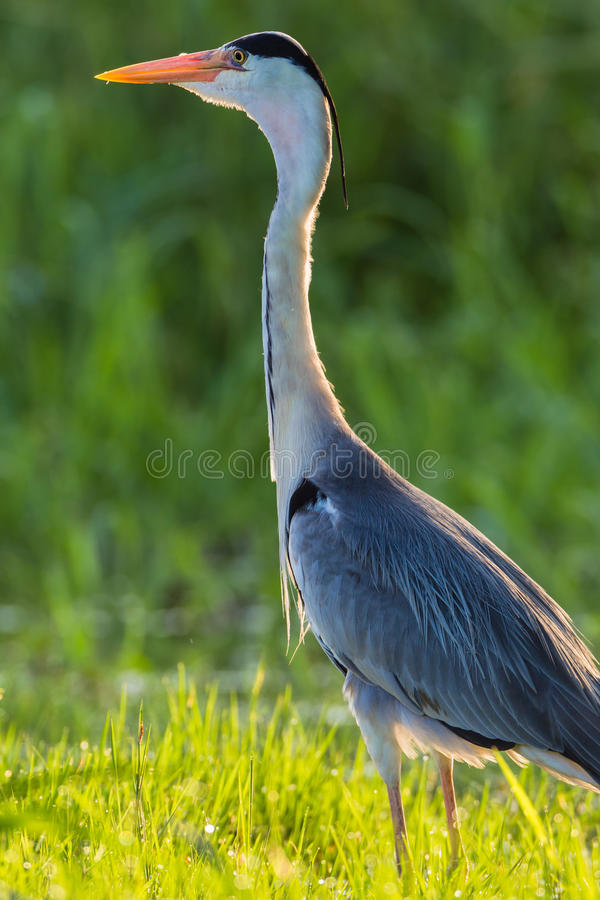 Download Heron Bird Close Water Grass Stock Image - Image: 28608501