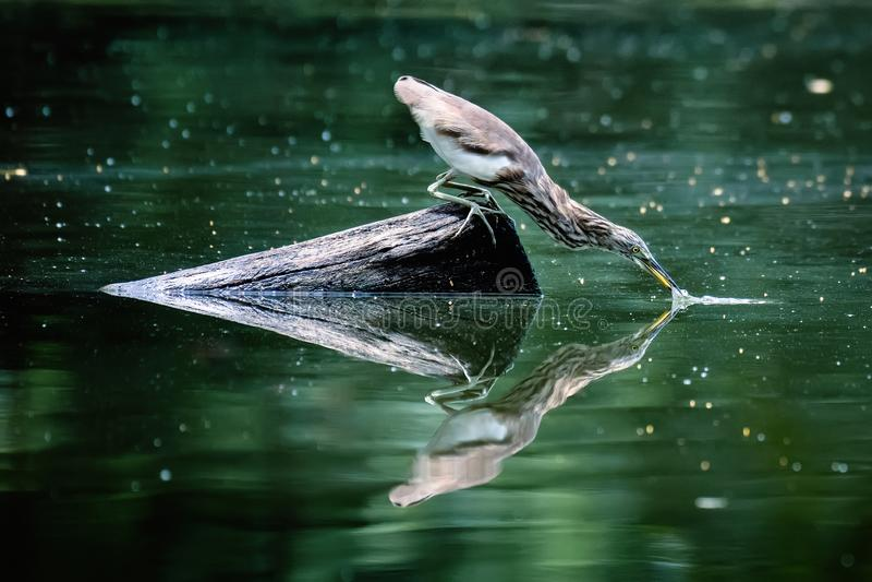 Heron Bird eet vis royalty-vrije stock foto's