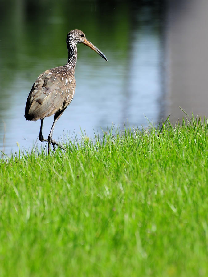 Heron bird walking royalty free stock image