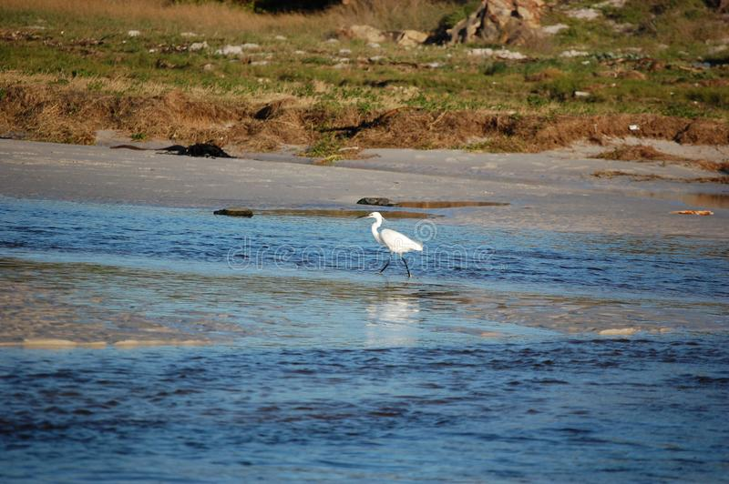 A heron bird walking along the beach in Cape Town,  South Africa. Africanature, natural, rest, wild, birds, water, ocean, picturescue, scenic stock photos