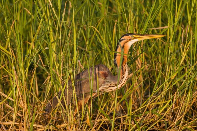 Download Heron Bird Wetland Stock Photo - Image: 28608760