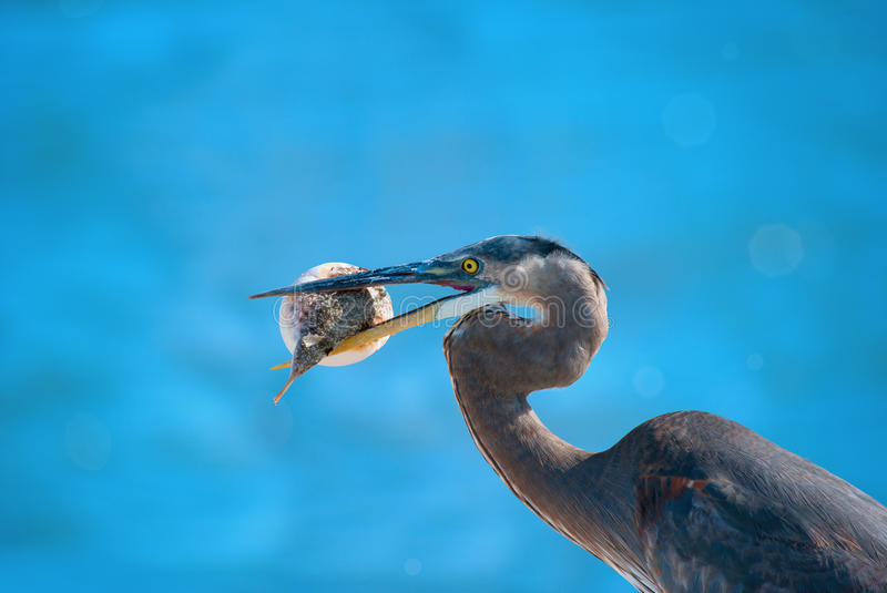 Download Heron With Blowfish In It's Beak Stock Photo - Image of eating, fisherman: 22779976
