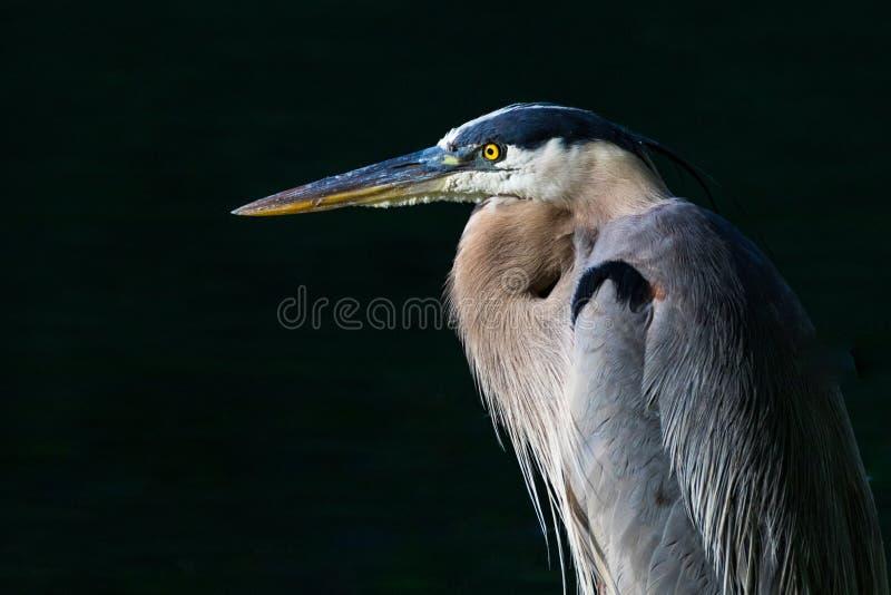 Heron Closeup stock photography