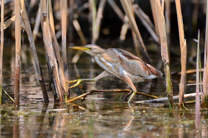 Heron in Danube Delta royalty free stock image