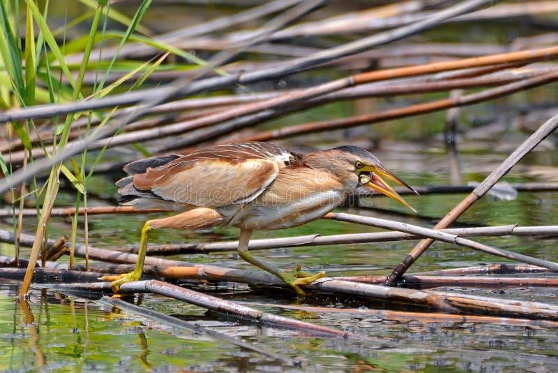 Heron in Danube Delta stock image