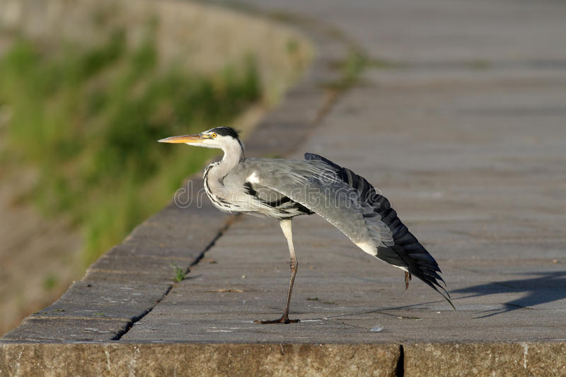 Download Heron from the Douro stock image. Image of grey, heron - 26795599