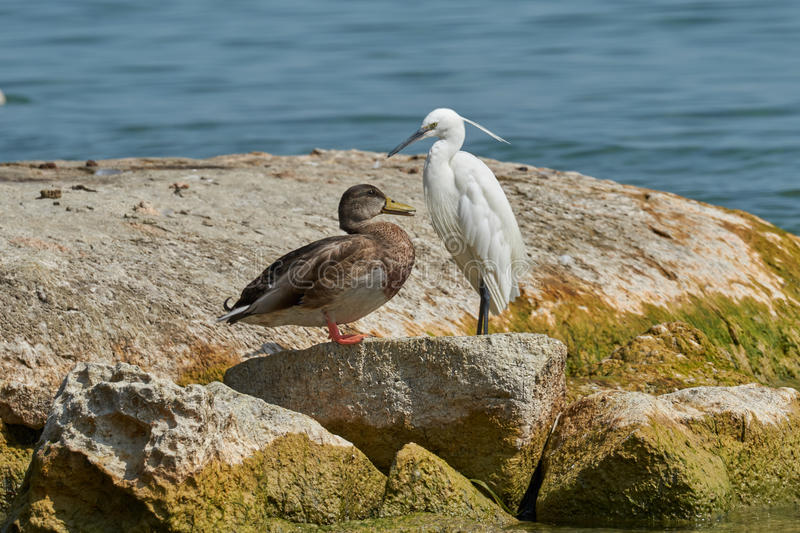 Heron and duck on rock. At lake stock image