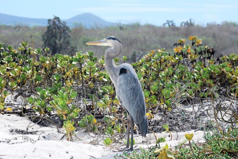 Heron in dunes and beach Galapagos Island. Heron in dunes and beach with green shrubs and plants Tortuga Bay Santa Cruz Galapagos Island royalty free stock photo