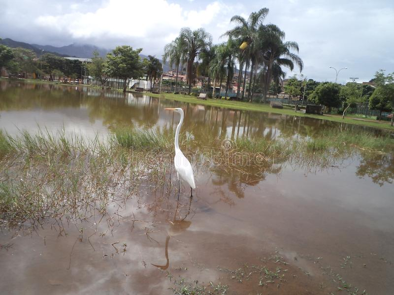 Heron on the edge of the pond. A heron on the edge of a pond, a very beautiful place in Barrão de Cocais, Minas Gerais royalty free stock photography