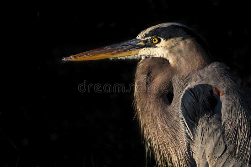heron royalty free stock photo