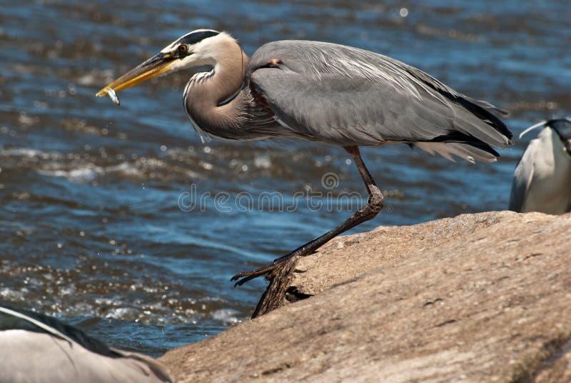 heron för blå fisk för näbb stor fotografering för bildbyråer