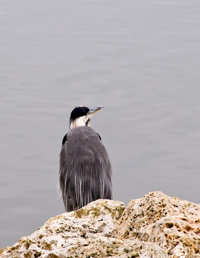 Download Heron fishing stock photo. Image of avian, nature, wild - 5798246